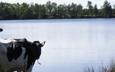 Ko vid en sjö