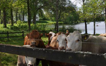 Kor i hage