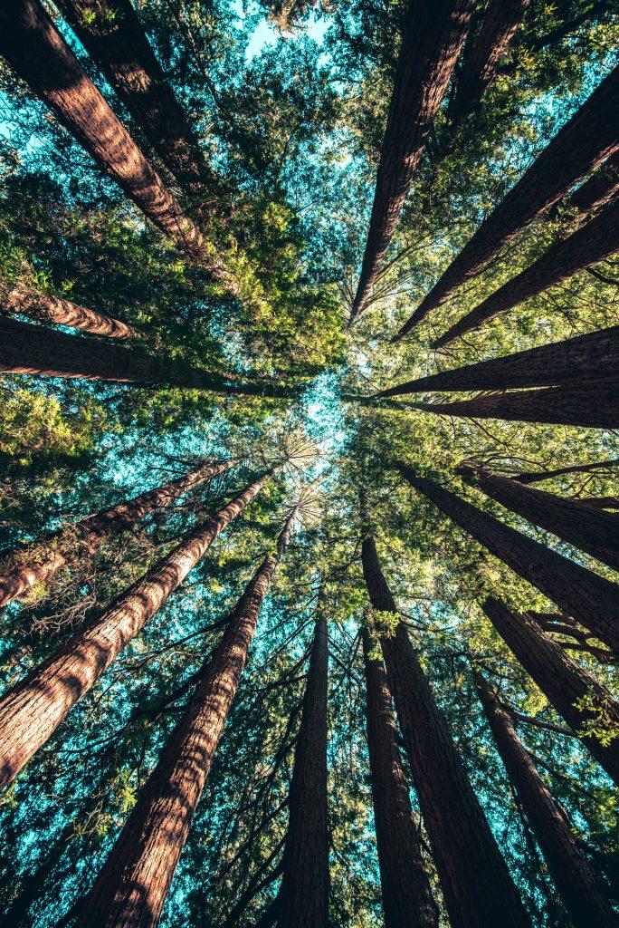 trädstammar och himmel